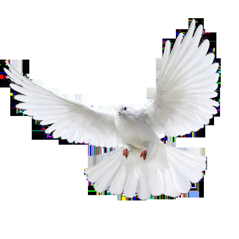 Dove Bird Png & Free Dove Bird.png Transparent Images #10749.