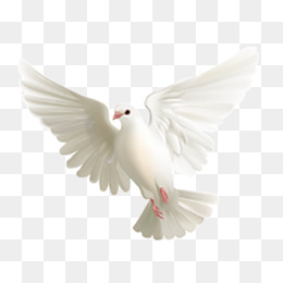 Dove Png & Free Dove.png Transparent Images #2713.