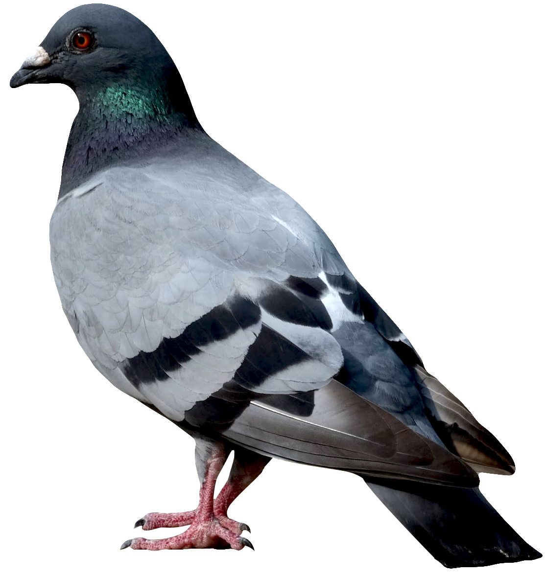 Dove PNG Image.