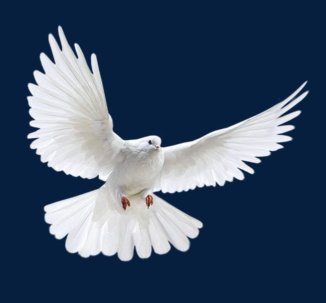 White Dove PNG, Clipart, Birds, Dove Clipart, Fly, Pigeon, Pigeons.