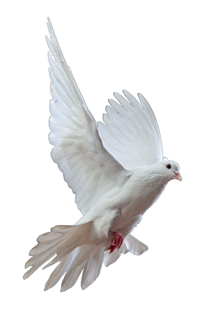 Dove Png Transparent Background.