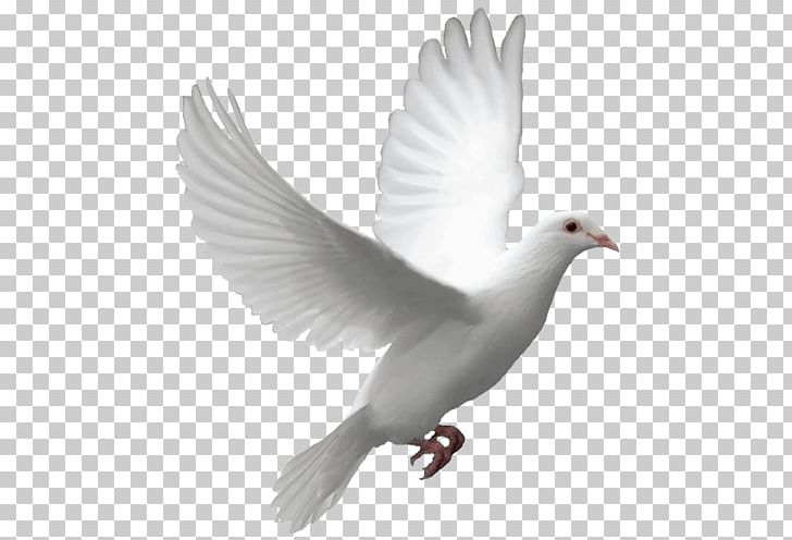 Flying Dove PNG, Clipart, Animals, Birds, Pigeons And Doves Free PNG.