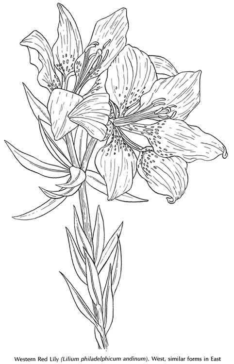 American Wild Flowers: Dover Publications Samples http://store.