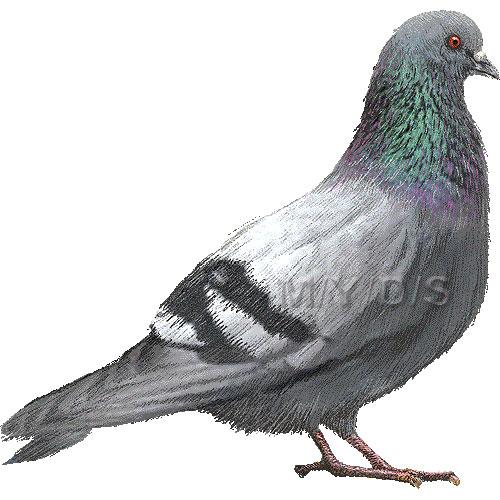 Rock Pigeon, Rock Dove clipart graphics (Free clip art.