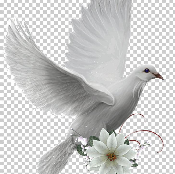 Colombe Bird Photography Doves As Symbols PNG, Clipart, Animals.