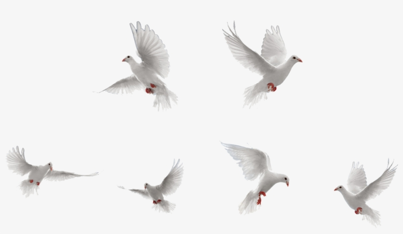 Doves Png (+).