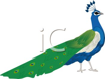 Cartoon Clip Art of a Peacock With His Feathers Down.