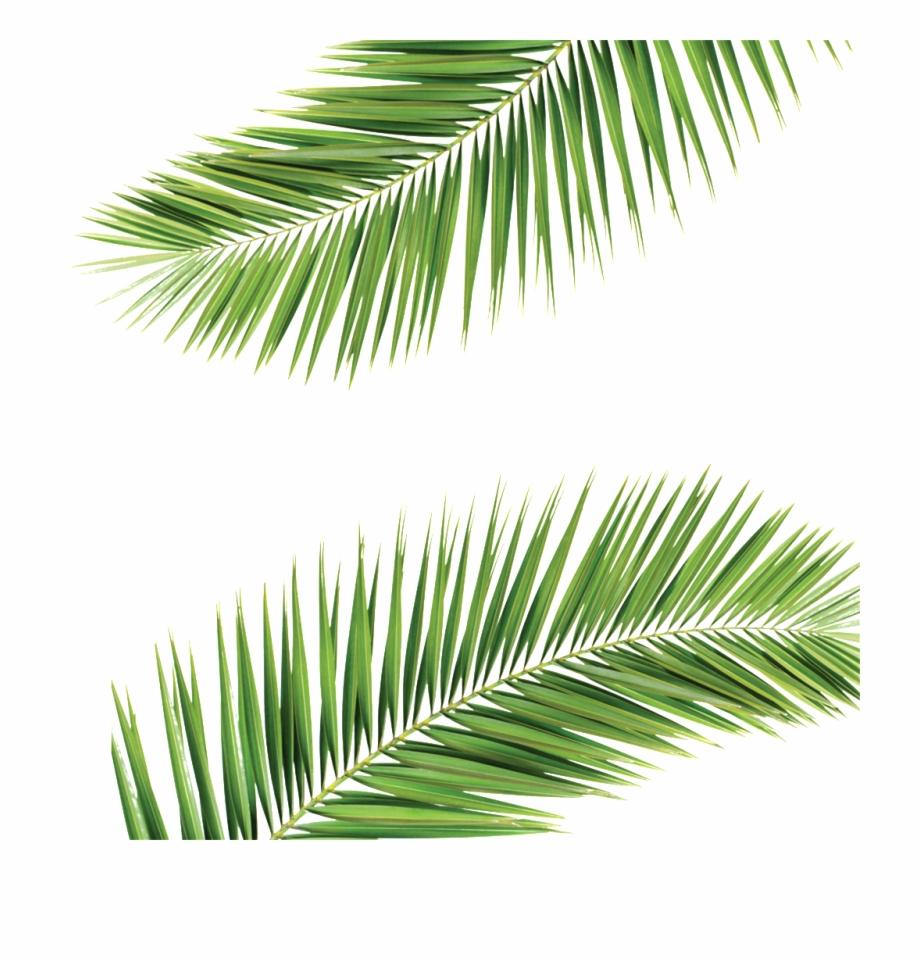 Palm Frond Transparent Background , Png Download.