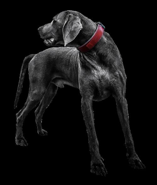 Black Labrador Dog Transparent PNG Image.