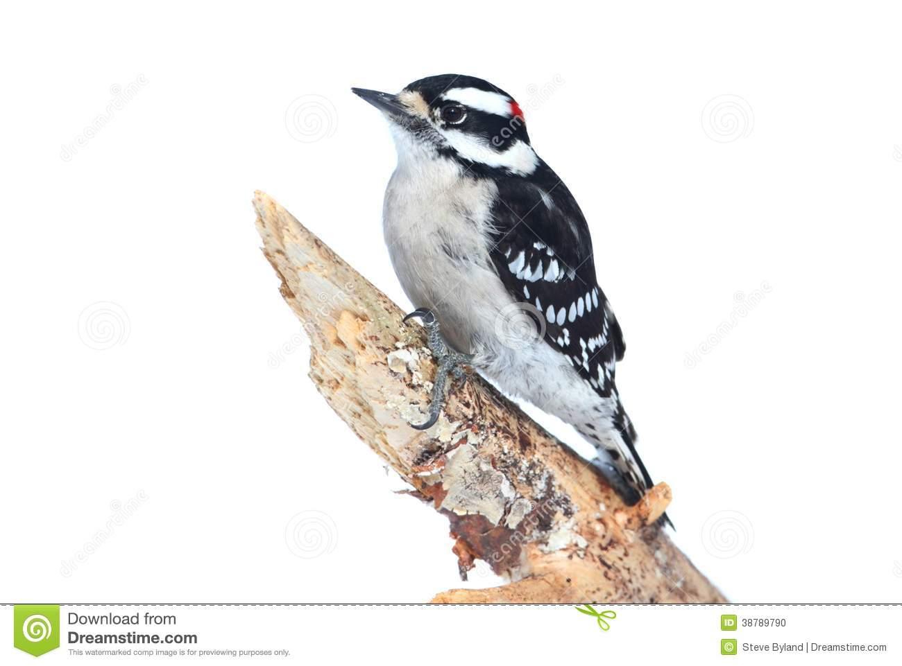 Clip Art of Downy Woodpecker.