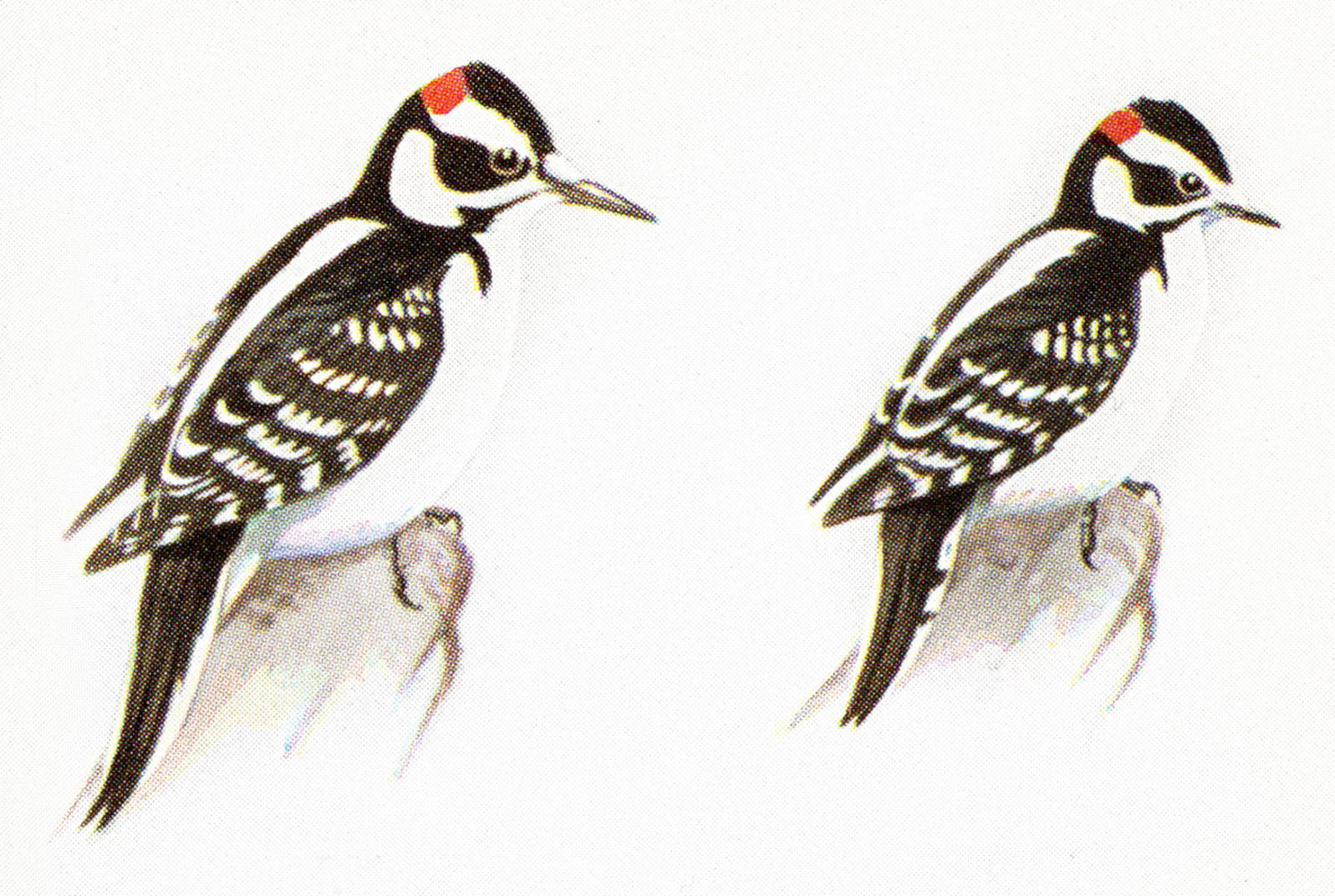 How to Tell a Hairy Woodpecker From a Downy Woodpecker.