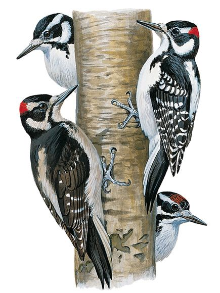 Hairy Woodpeckers, Hairy Woodpecker Pictures, Hairy Woodpecker.