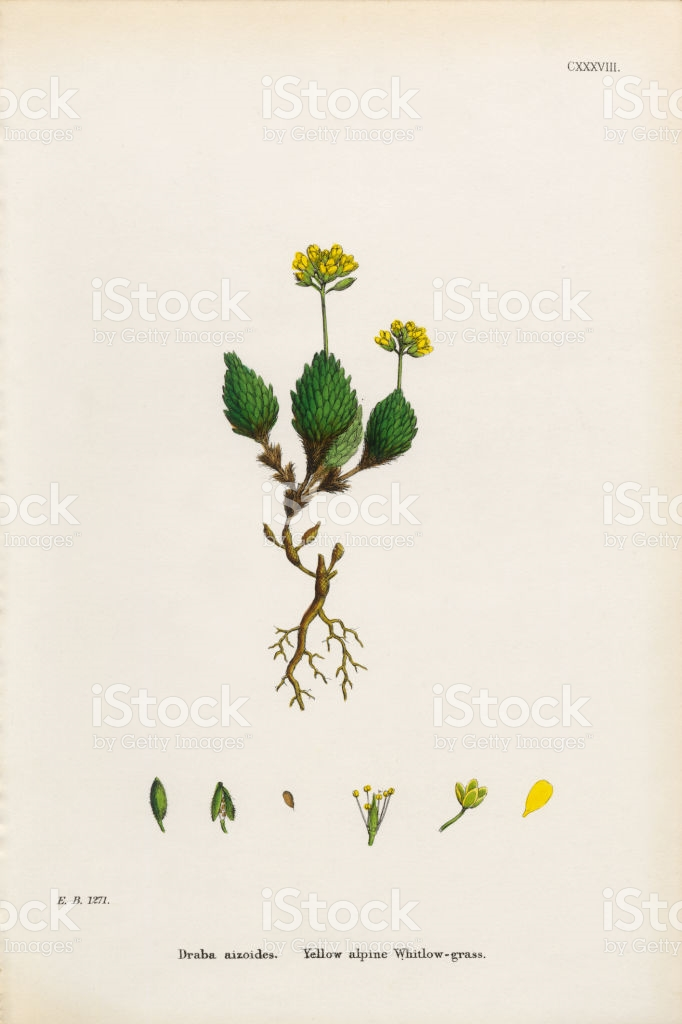 Alpine Whitlow Grass Draba Aizoides Victorian Botanical.
