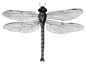 black and white clip art, vintage dragonfly clipart, digital stamp.
