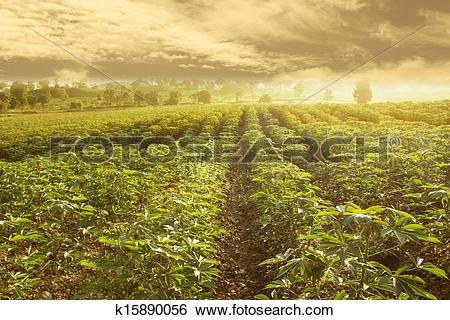 Stock Images of Cassava Field In Thailand,Dramatic Look k15890056.