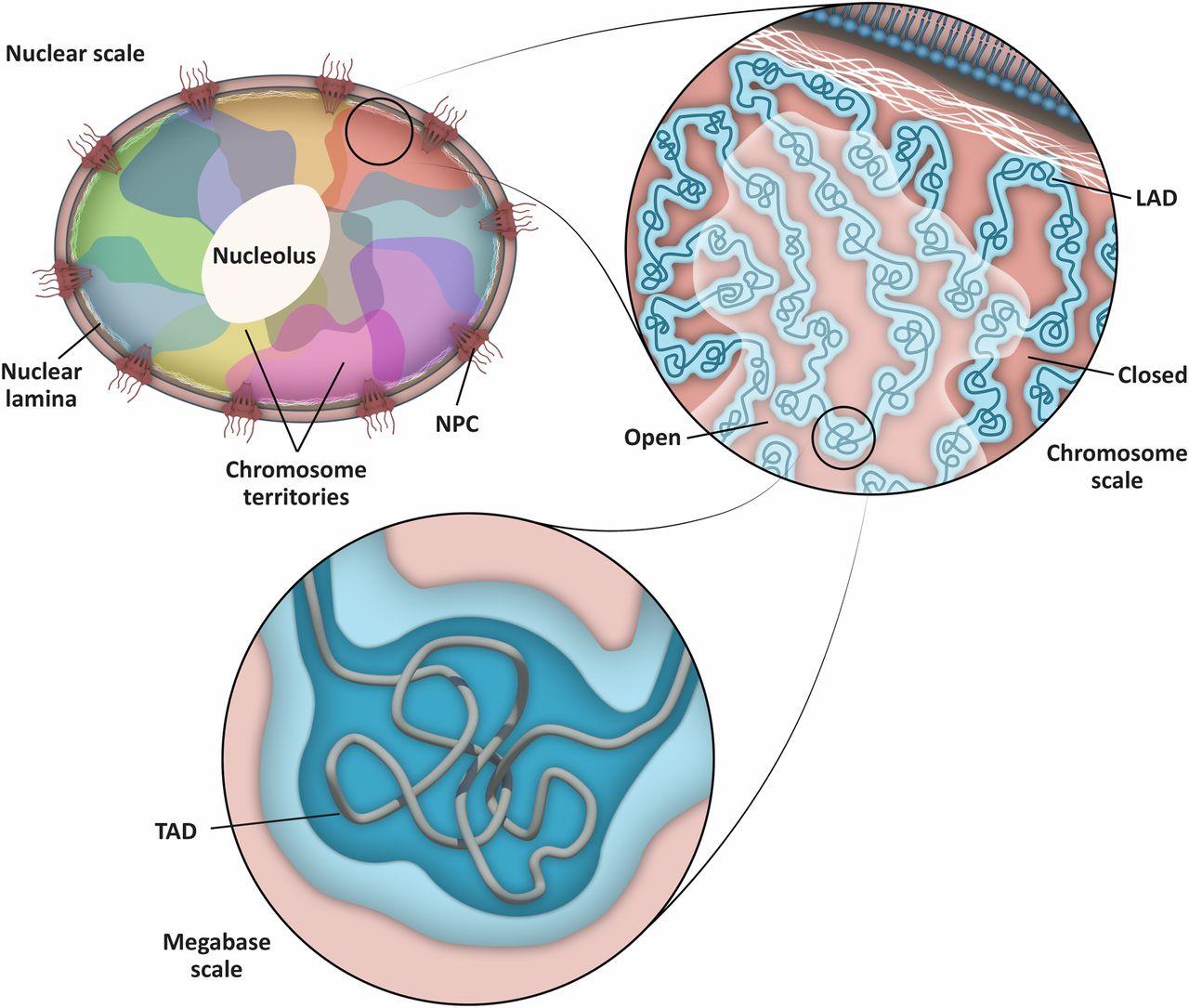 Cell Biology of the Caenorhabditis elegans Nucleus.
