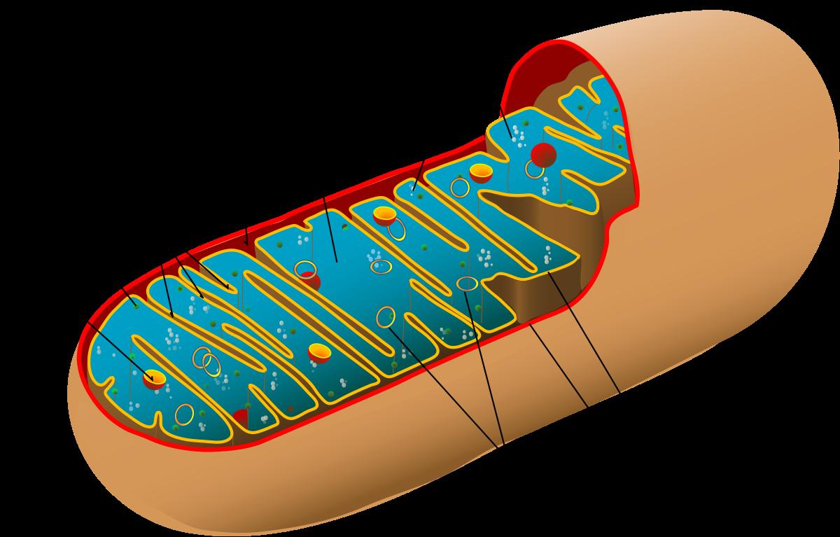 Mitochondrial myopathy.