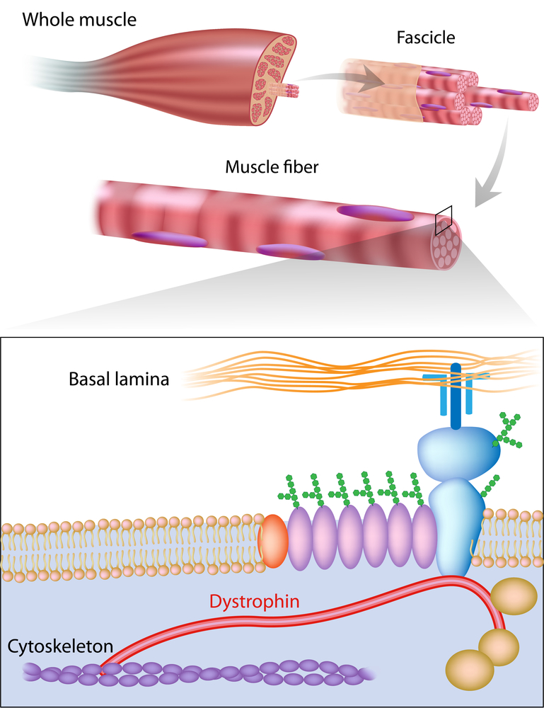 Study The Role of Dystrophin Related Proteins in Progression of.