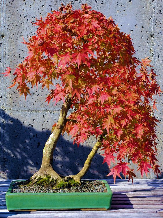 See the tiniest fall color show at the Bonsai exhibit at the NC.