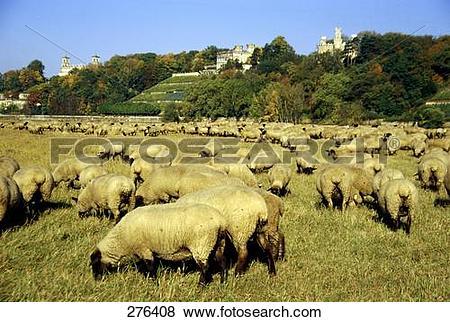 Pictures of Flock of sheep grazing grass in field, Lingnerschloss.