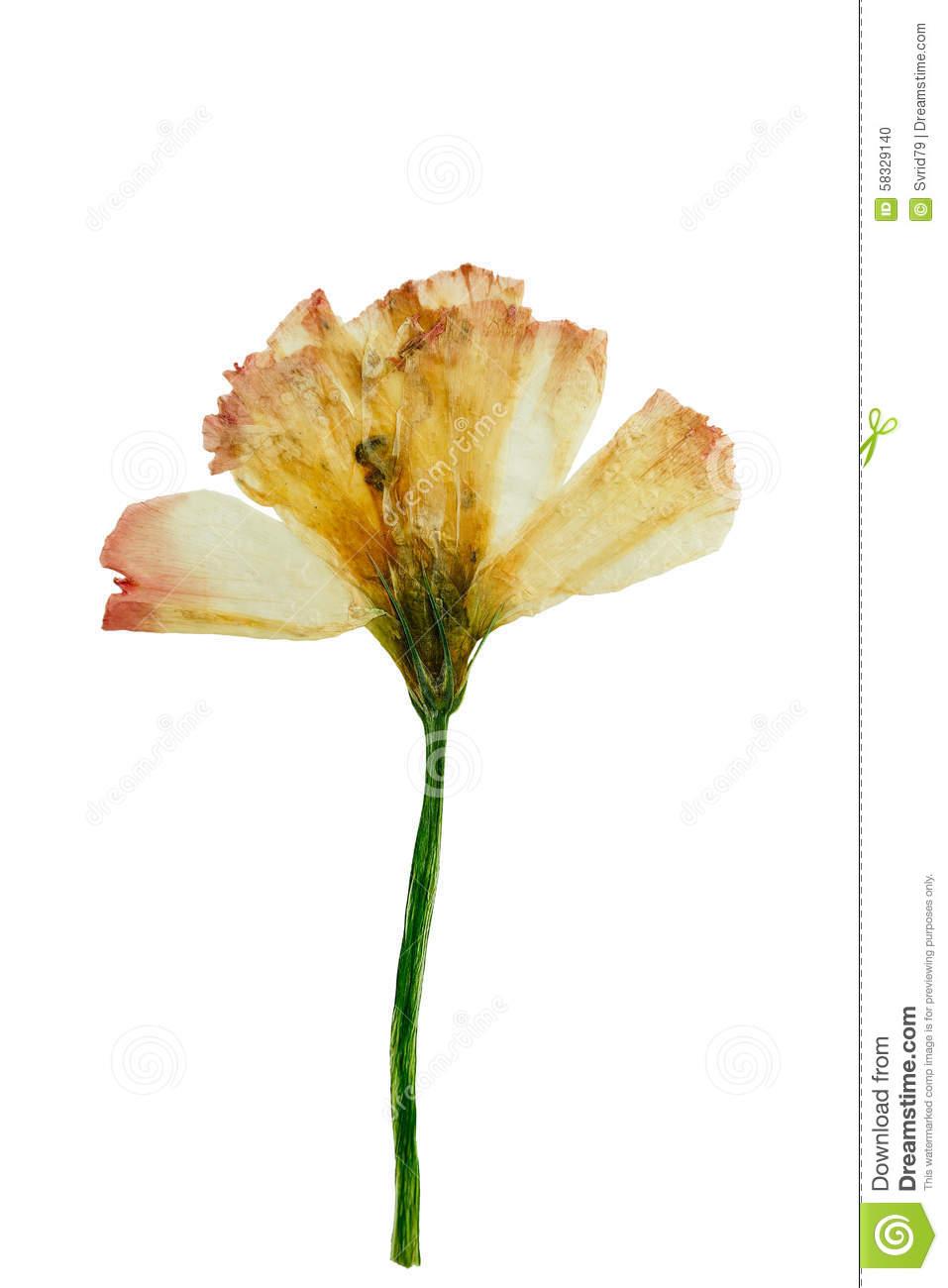 dry flower clip art