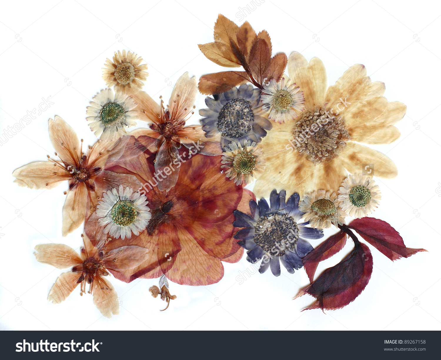 Dried flower clipart.