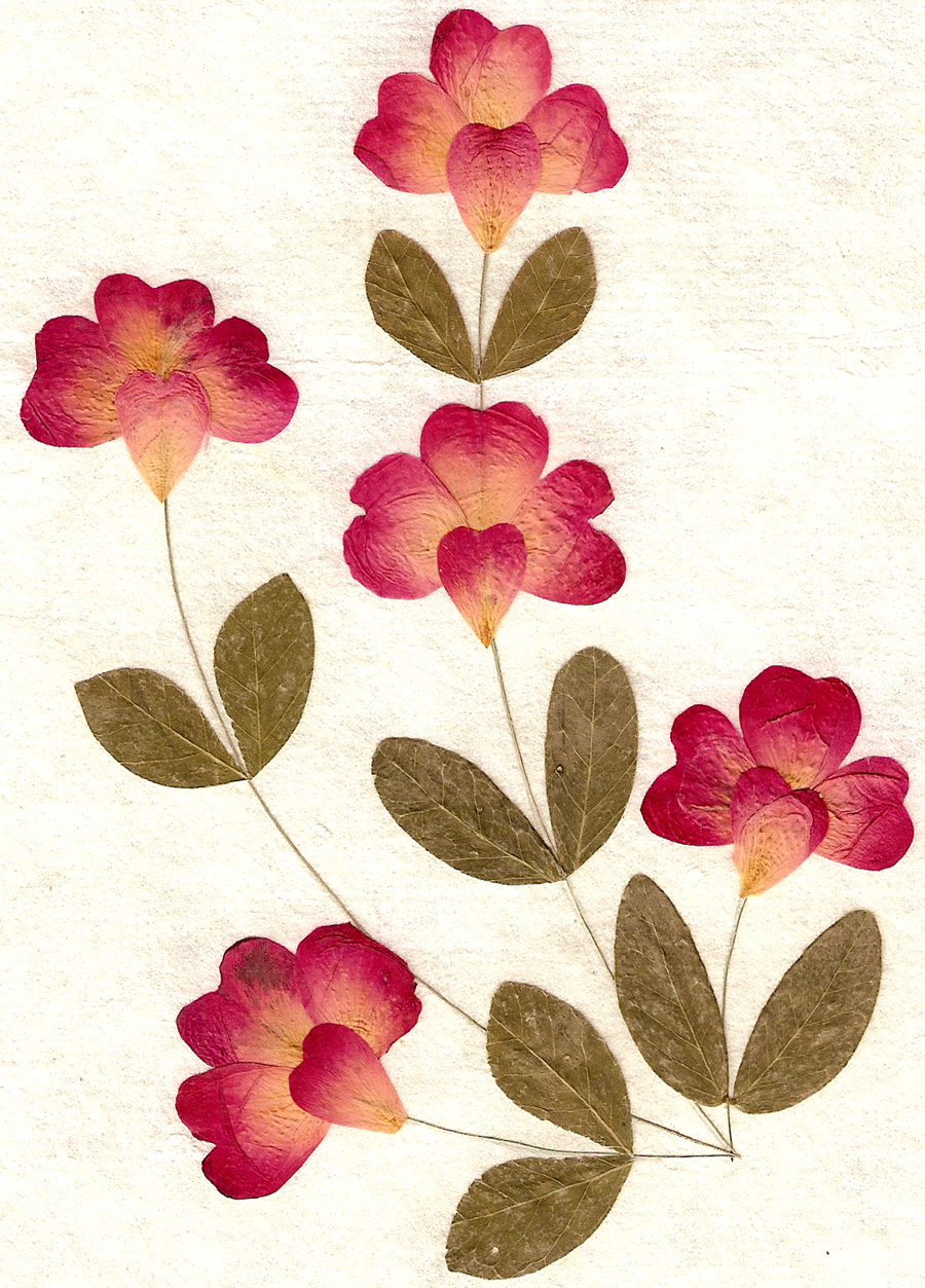 1000+ images about PRESSED FLOWER on Pinterest.