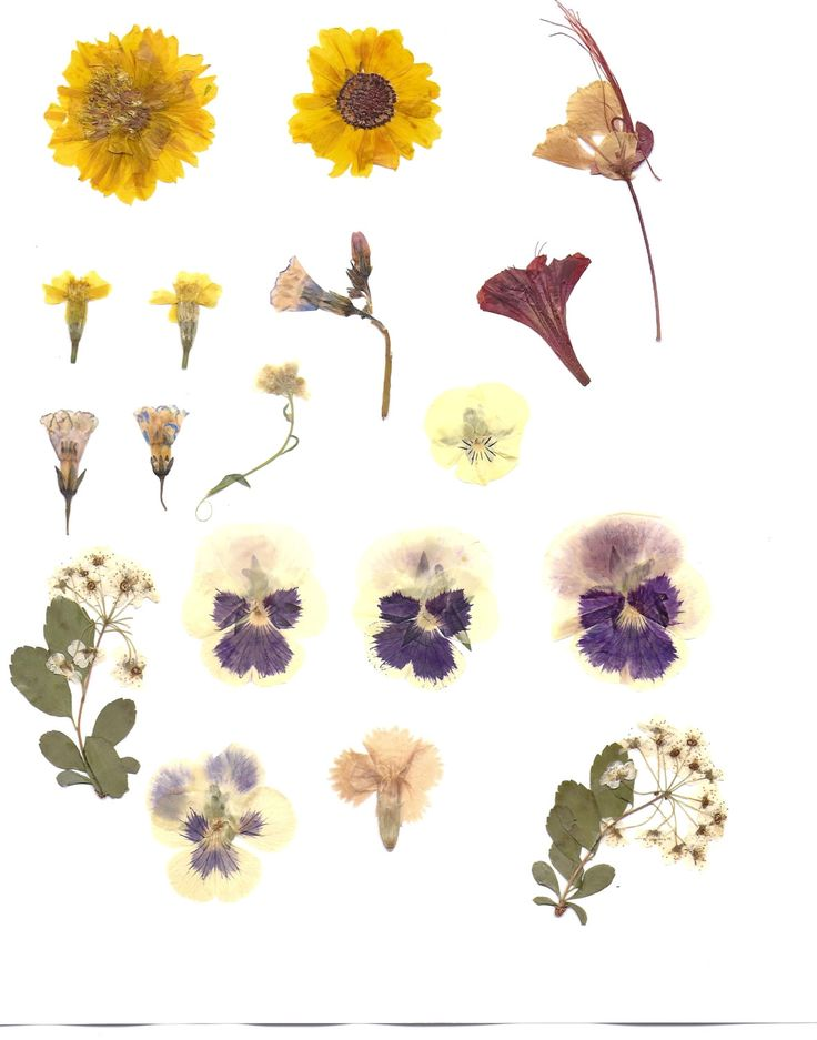 1000+ images about pressed flowers on Pinterest.