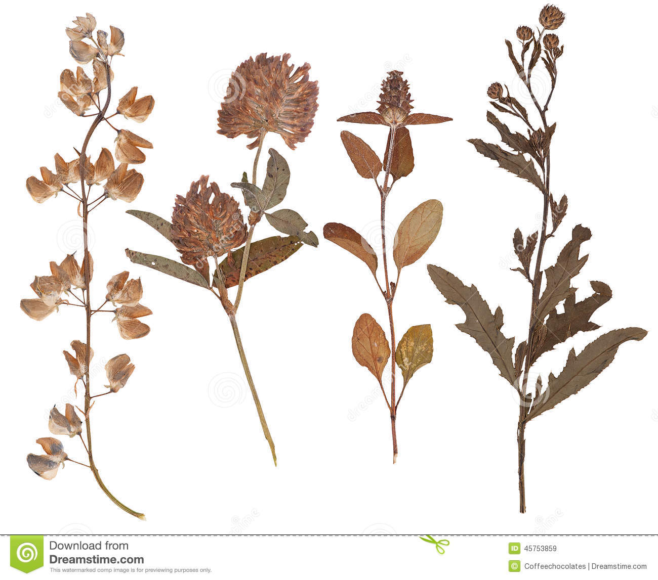 Set Of Dry Twigs And Pressed Flowers Of Wild Rose Isolated Stock.