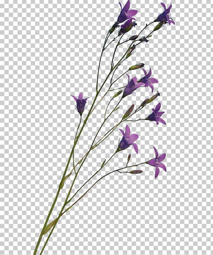 Bellflower Family Lavender Bellflowers Plant Stem Cut Flowers PNG.