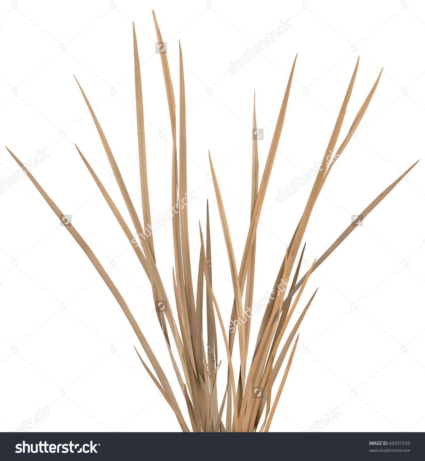 Dried Ornamental Grass Clump Very Highres Stock Photo 69337243.