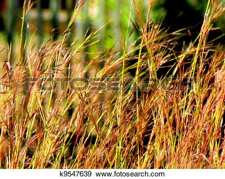 Stock Photograph of Tall Dried Grass Sway in Sunlight k9547639.