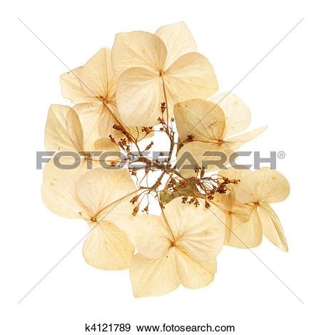 Stock Photograph of Dried hydrangea flower k4121789.