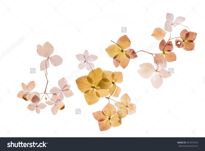 Dry Hydrangea Stock Photo 531015316 : Shutterstock.