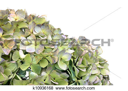 Pictures of dried flower of the hydrangea k10936168.