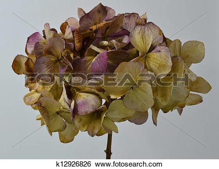 Stock Images of Dried Head of A Hydrangea Plant k12926826.