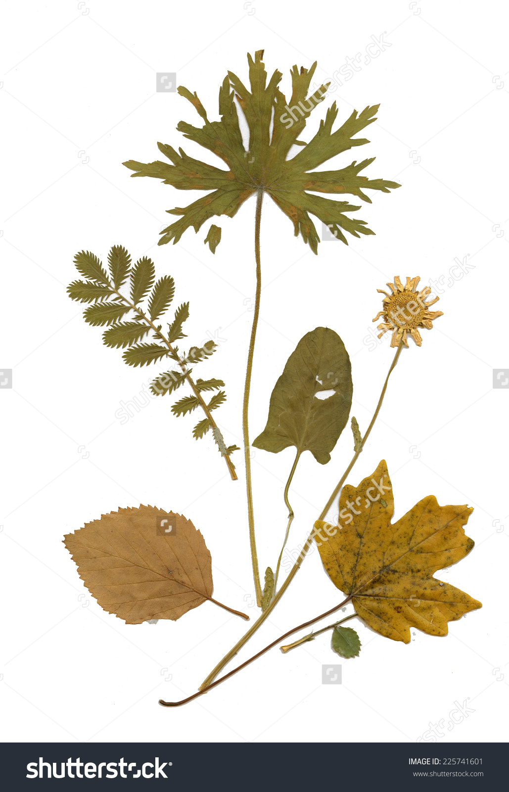 Dry Herbarium Plants Flowers Leaves Vector Stock Vector 225741601.