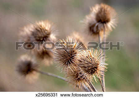 Stock Photography of Dried teasels of Burdock Burr, close up.