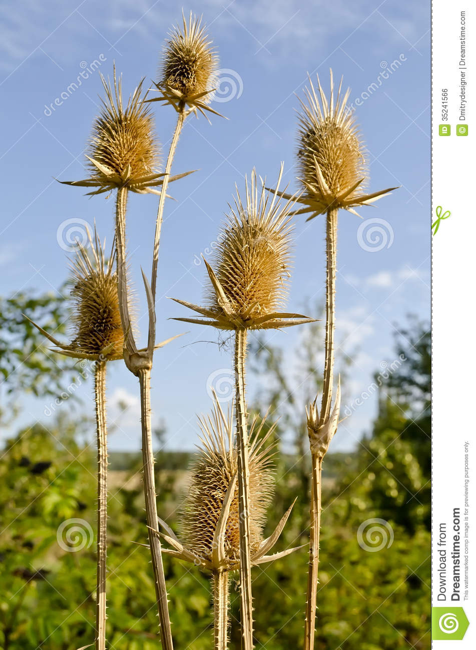 Thistle Royalty Free Stock Image.