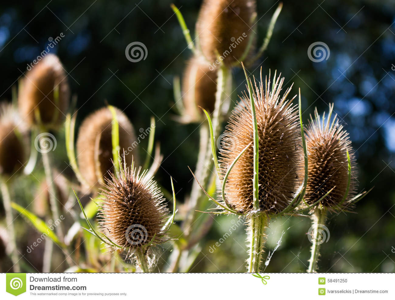 Three Dry Teasel Seed Pods. Stock Photo.