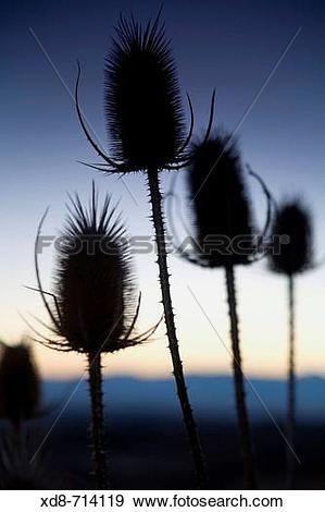 Stock Photograph of Dried thistles (Dipsacus fullonum) at sunset.