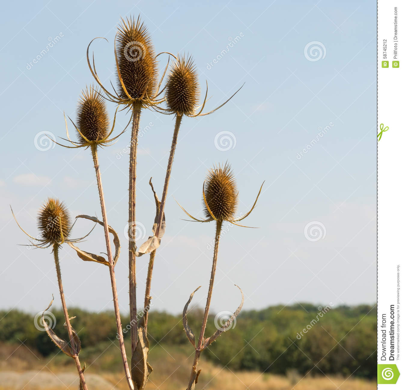 Dry Teasel Flowers Stock Photo.