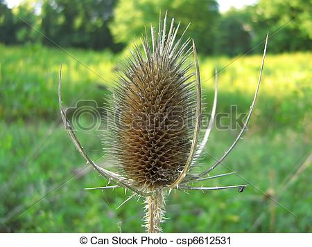 Stock Photography of Common Teasle (Dipsacus fullonum).