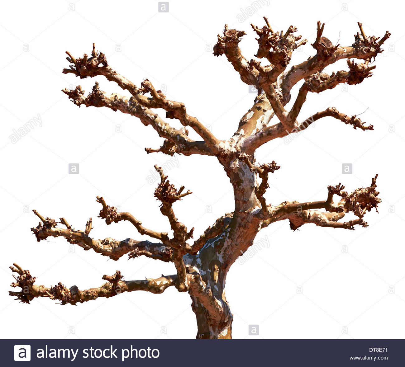 Old Dry Dead Tree Trunk And Branches Isilated On White Background.