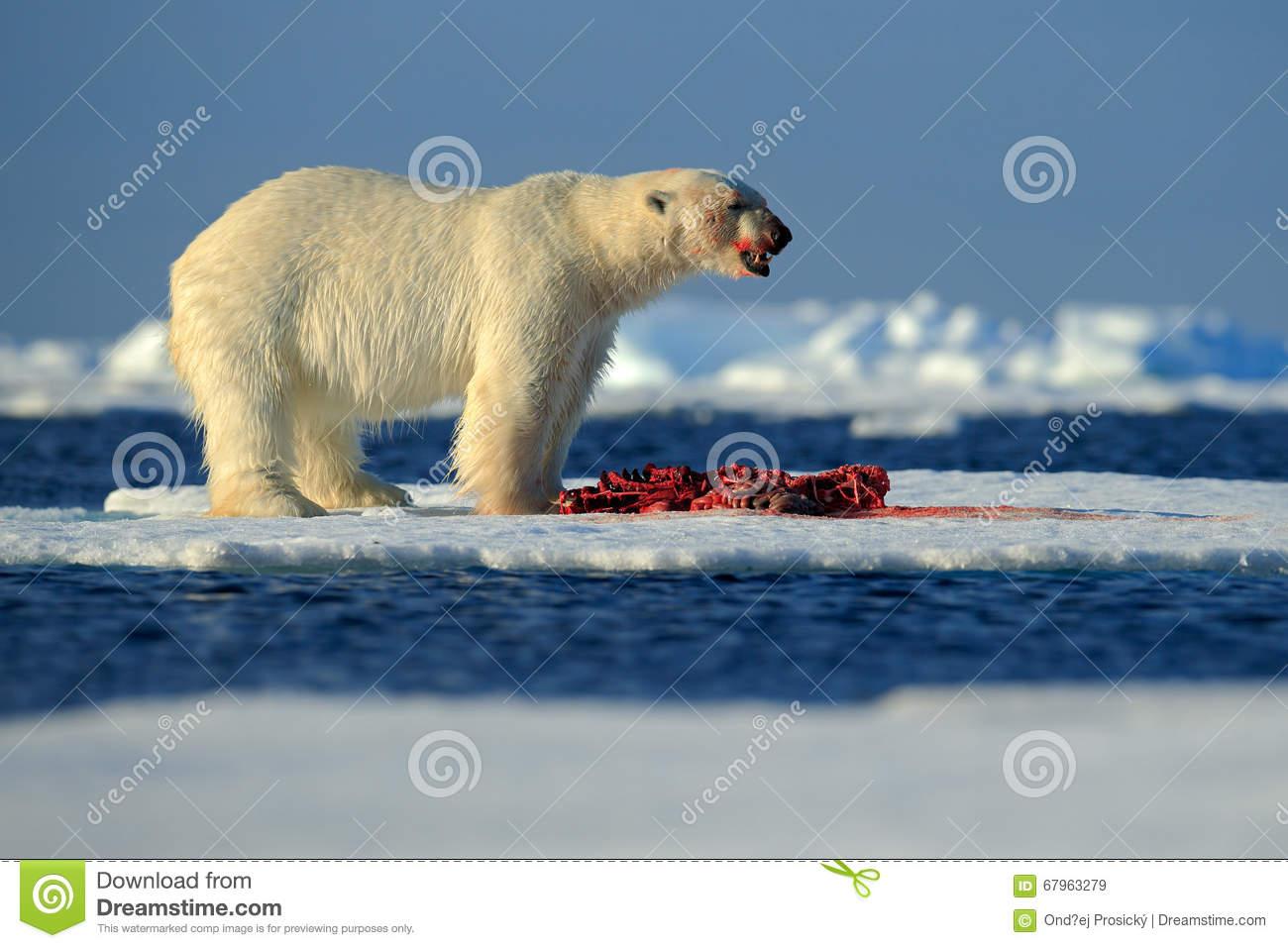 Big Polar Bear On Drift Ice With Snow Feeding Kill Seal, Skeleton.