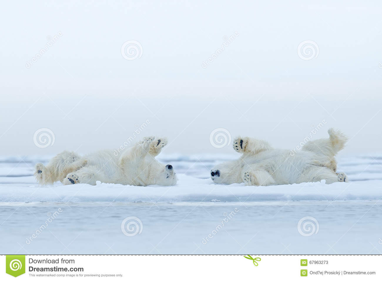 Two Polar Bear Lying Relax On Drift Ice With Snow, White Animals.