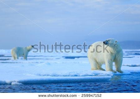 Polar Bear On Ice Stock Photos, Royalty.