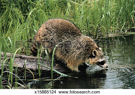 Stock Photo of Raccoon Drinking Water x15885124.