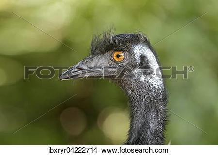 Stock Photo of Emu (Dromaiidae), captive ibxryr04222714.