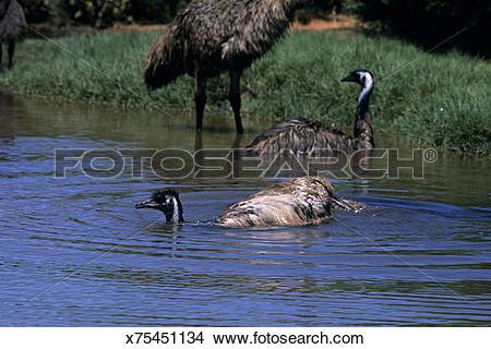 Stock Photo of Emu, Dromaius novaehallandiae, bathing in desert.